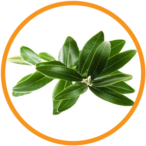 Eucalyptus-Leaf-Extract