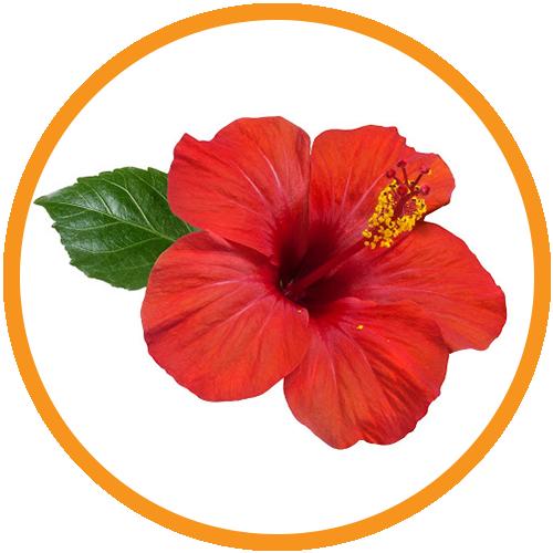 Hibiscus-Extract