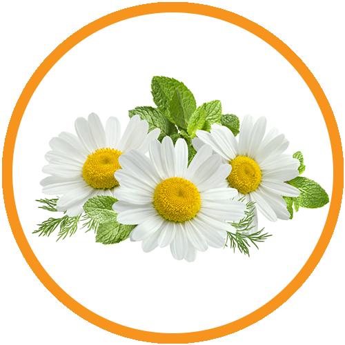 Daisy-Flower-Extract